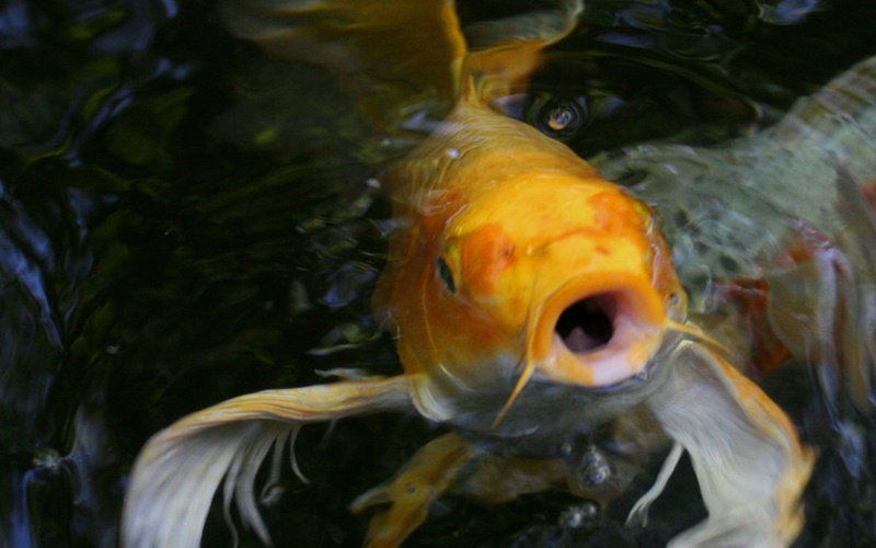 5 things to know before installing a koi pond decker 39 s for Koi pool opening times